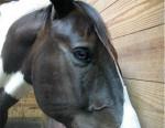 Izzy - Paint horse Maschio (6 anni)