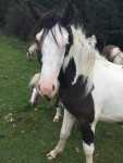 Barad - Paint horse Maschio (2 anni)