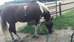 Smores - Paint horse Maschio (5 anni)