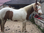 championhorse12 - Paint horse (11 anni)