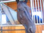 My Horse - Hannover Maschio (12 anni)