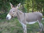 Grisette - Asino grigio Maschio (3 anni)