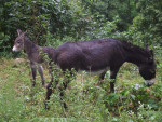Les ânes du Pilat - Grande nero del Berry