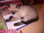 Gatto frisquette - ( (10 mesi))