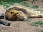 Leone lion - ()