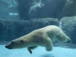 Orso bianco destello - ( (4 anni))