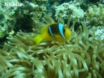 Pesce Nemo - Maschio ( (1 mese))