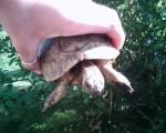 Tartaruga Cash - Maschio ()
