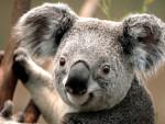 koala - (2 mesi)